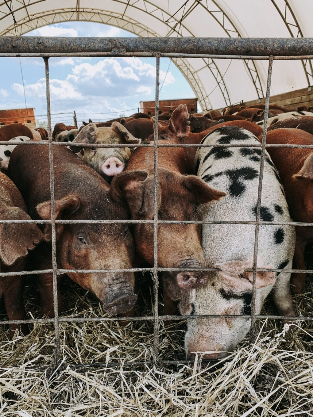 pigs in a pen at a pig farm