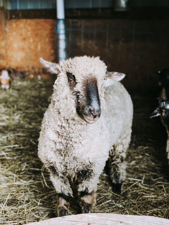 a sheep at a fiber farm in KS