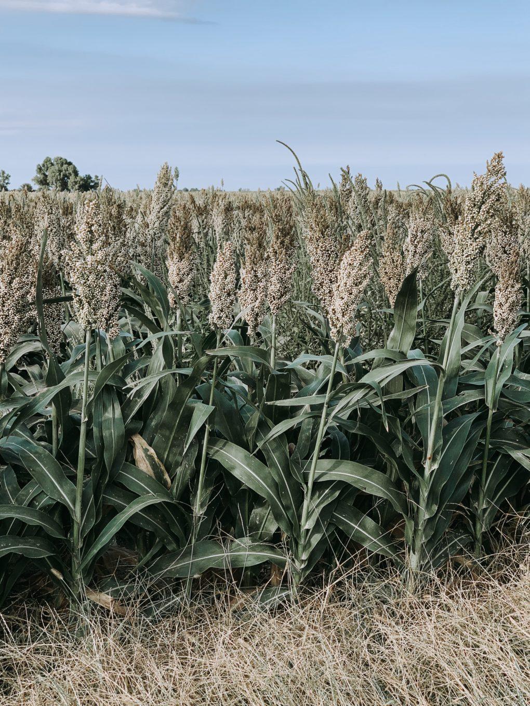 a sorghum field